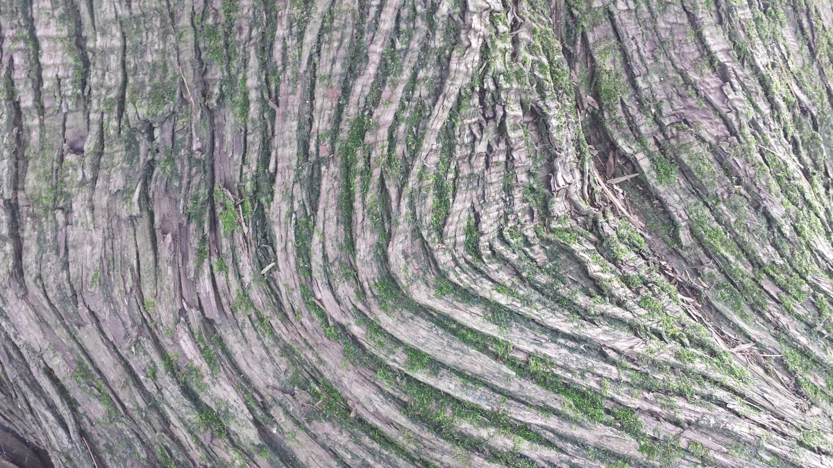 The twisty bark at the base of a cedar tree in the Ottawa Valley