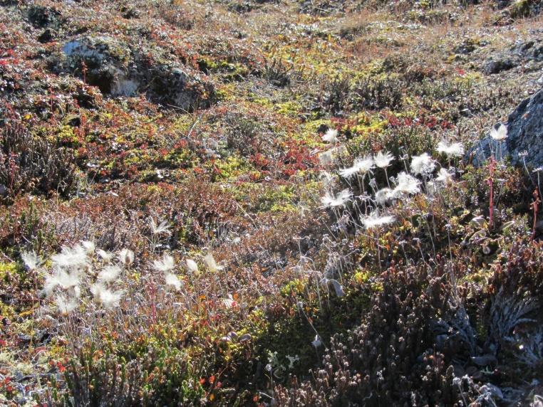 Fluffy Dr Seuss grass on Qaummaarviit island