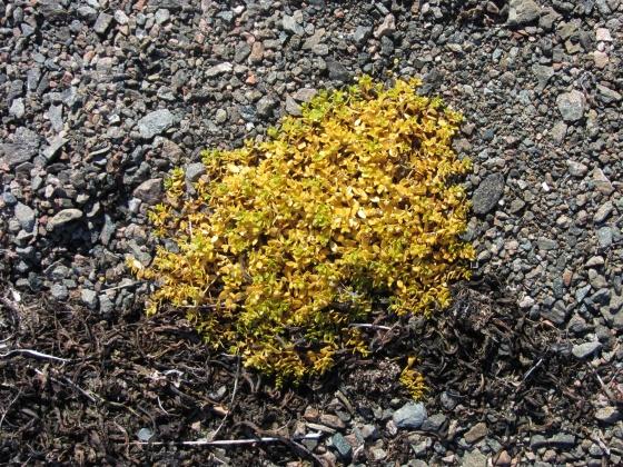 Poddy yellow plant on Qaummaarviit island, Nunavut, Canada