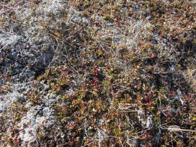 Red berries on Qaummaarviit island