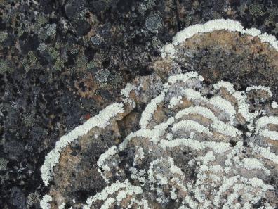 Rings of lichen on a rock on Qaummaarviit island