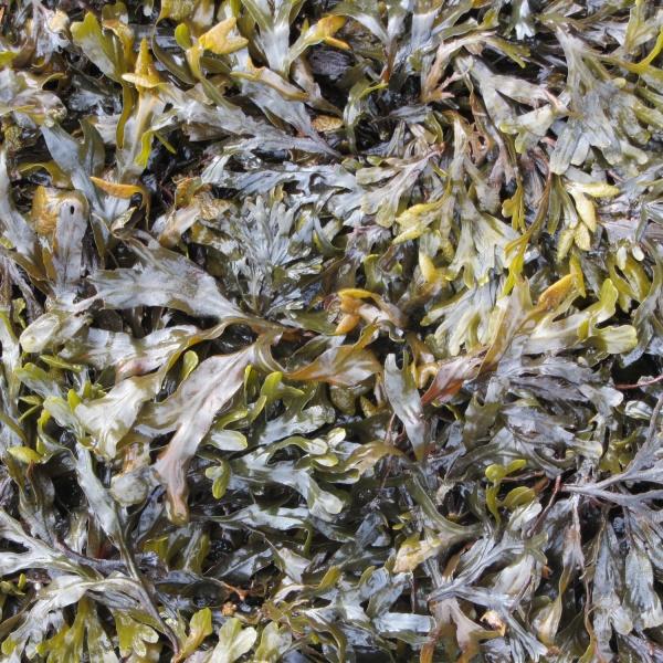 Slippery seaweed