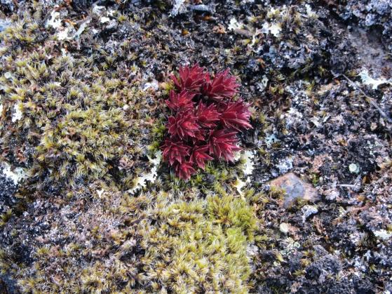 Spiky red plant on Qaummaarviit island