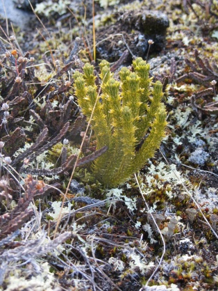 Spiky yellow plant on Qaummaarviit island