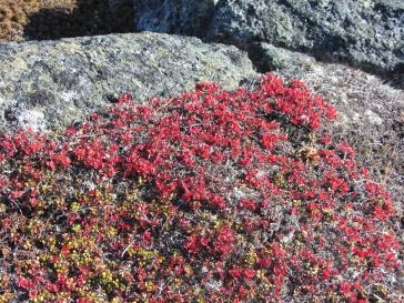 Tiny red leaved plant Qaummaarviit