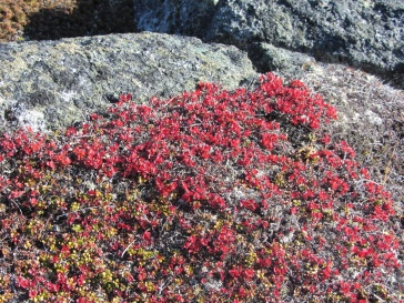 Tiny red leaved plant Qaummaarviit