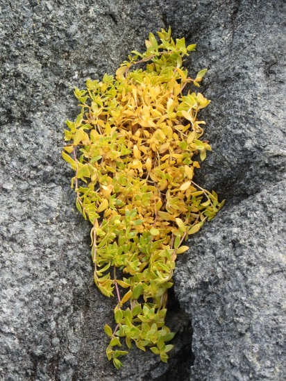 Yellow plant growing between the rocks on Qaummaarviit island