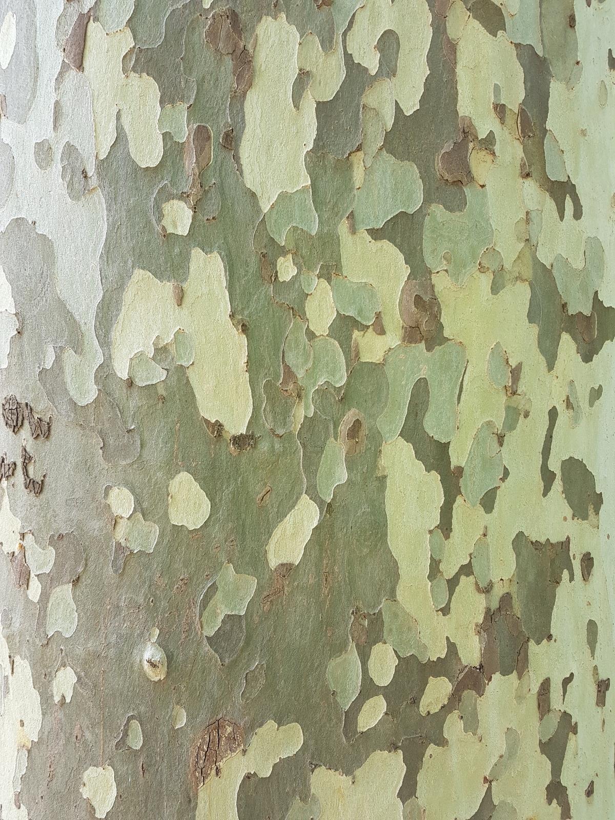 plane tree adelaide botanic garden